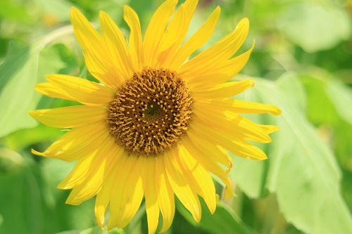 sunflower001.jpg