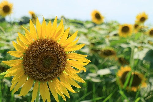 sunflower012.jpg